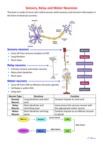 Sensory, Relay and Motor Neurons