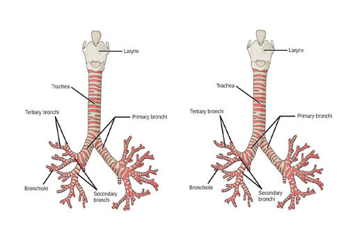 Aqa gcse pe chapter 1b cardiovascular and respiratory system aqa gcse pe chapter 1b cardiovascular and respiratory system lesson 1 by sjsage teaching resources tes ccuart Images