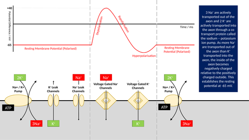 The Nerve Impulse Presentation
