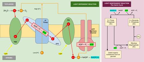 Summary Diagram of Photosynthesis