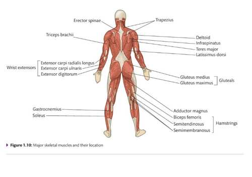 3 muscles in the body