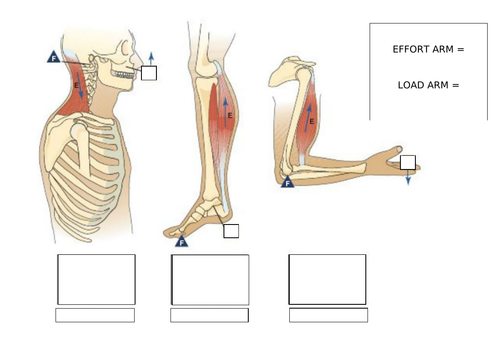 OCR A Level PE- Lever Systems