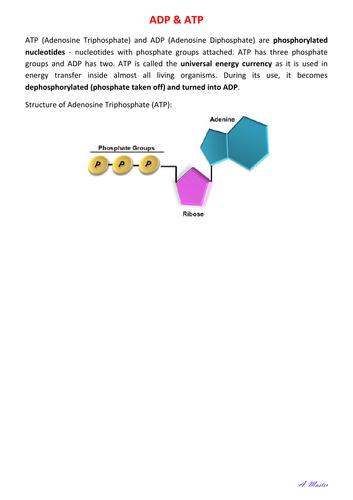 ADP & ATP