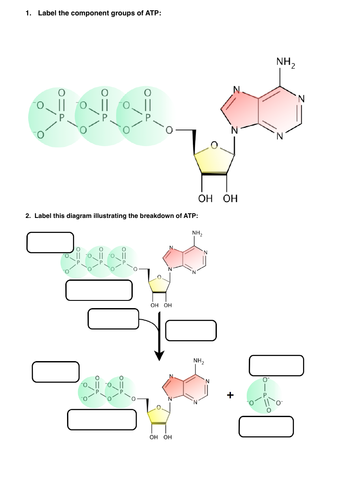 ATP structure and hydrolysis labelling exericse