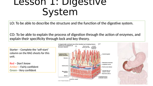 Digestive System Structure and Enzymes Lessons