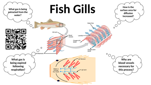 Independent learning task for GCSE Biology - Diffusion in mammals and plants