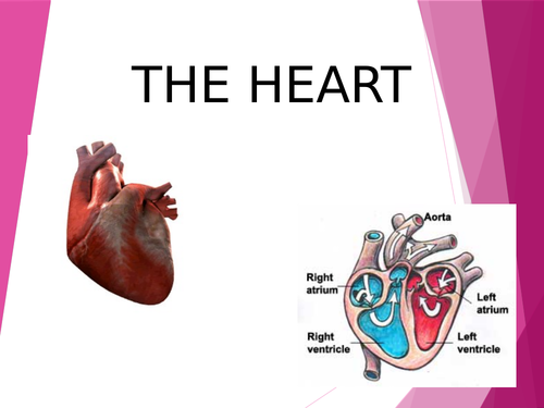 Circulatory system - how the heart works - Y5 and Y6