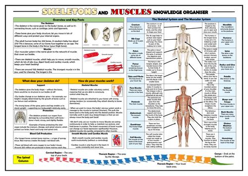 KS2 Skeletons and Muscles Knowledge Organiser!