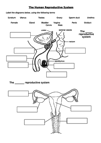 The Human Reproductive System (KS3) by adamsyed1