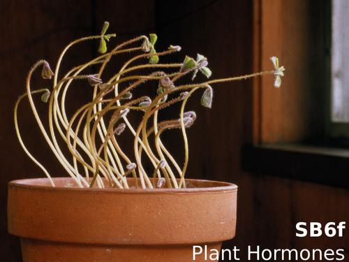 Edexcel SB6f Plant Hormones