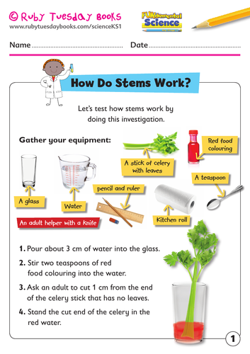 KS1 Science: Plants - how do stems work? Celery experiment.