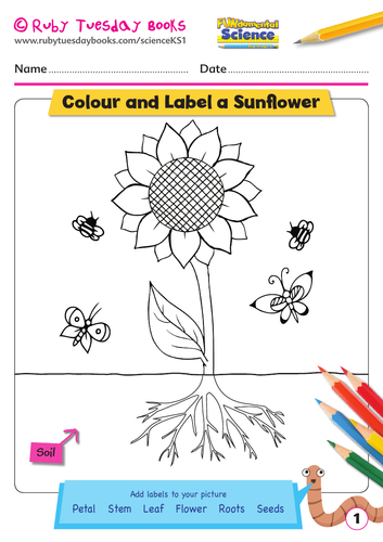 ks1 science plants colour draw and label a sunflower by rubytuesdaybooks teaching resources. Black Bedroom Furniture Sets. Home Design Ideas