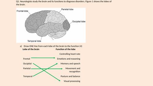 Applied Science Module 4 (nervous system) mock exam