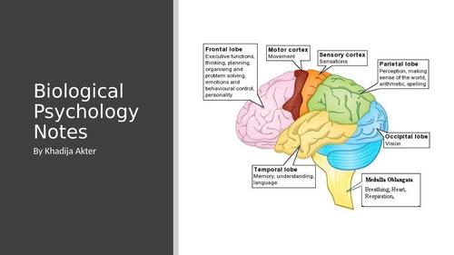 Edexcel Biological Psychology A Level Revision Notes