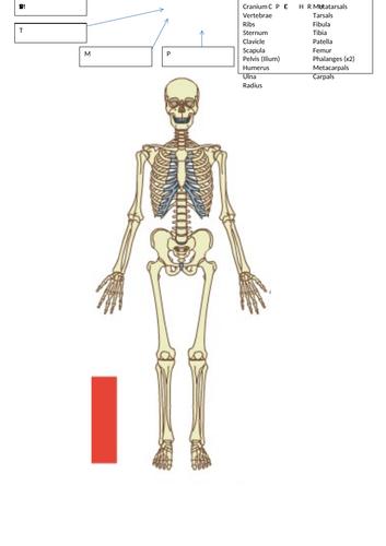 OCR  Skeletal systemSOW