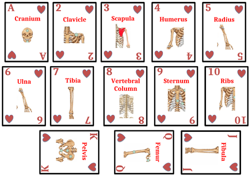 Muscles and Bones Cards