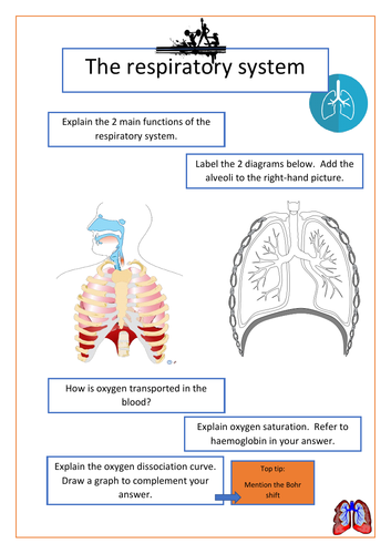 The respiratory system - A Level PE
