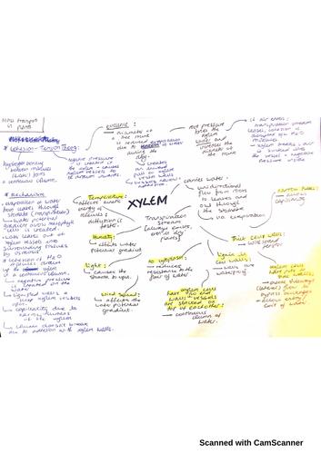 AQA A-level Biology: XYLEM MINDMAP