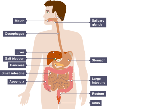 The digestive system and how it works