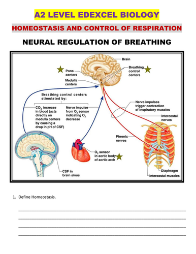 HOMEOSTASIS  AND NEGATIVE FEEDBACK MECHANISM FOR CONTROL OF BREATHING