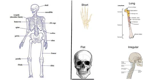 Science revison bones