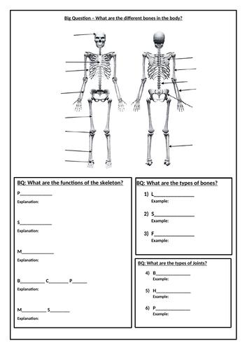 Skeletal System Worksheet   Teaching Resources