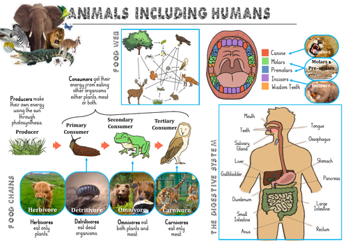 Animals including Humans Y4 Knowledge Organiser
