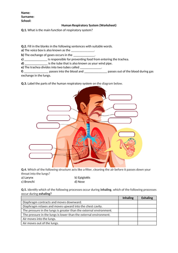 Human Respiratory System - Worksheet | Distance Learning