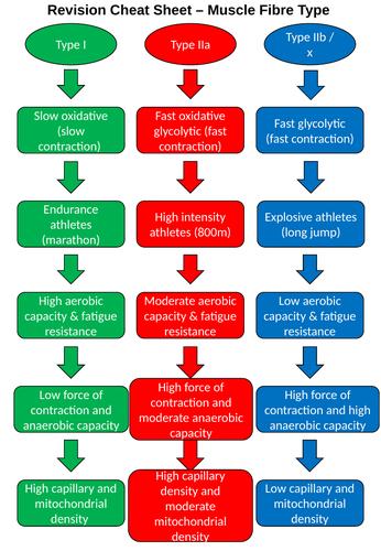 Muscle Fibre Type Concise Comparison Sheet - A level