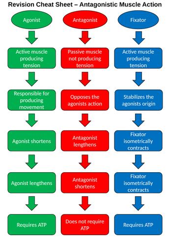 Antagonistic Muscle Action Concise Comparison Sheet - A level
