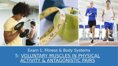GCSE PE Edexcel 5: Voluntary muscles & antagonistic pairs