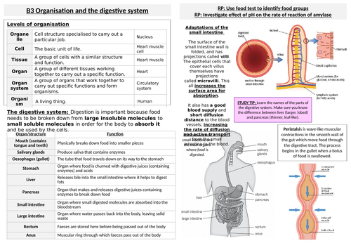 B3Organisation and the digestive system Knowledge Organiser
