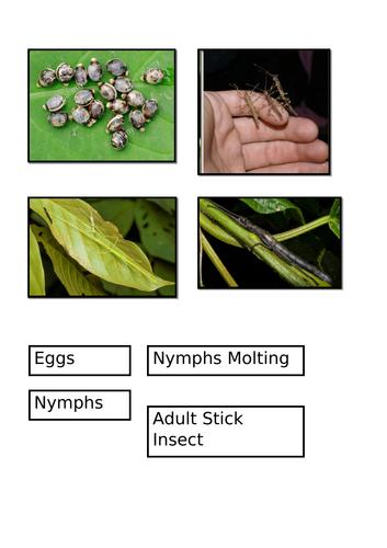 Stick Insect Life Cycle