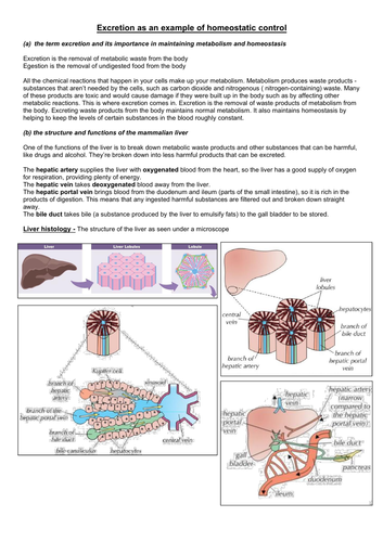 Excretion, Liver & Kidney A Level Notes