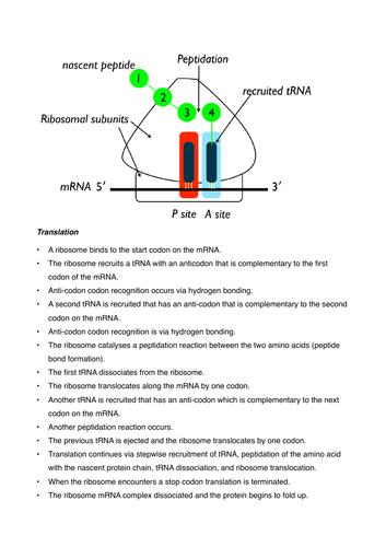 Translation protein synthesis rearrange exercise