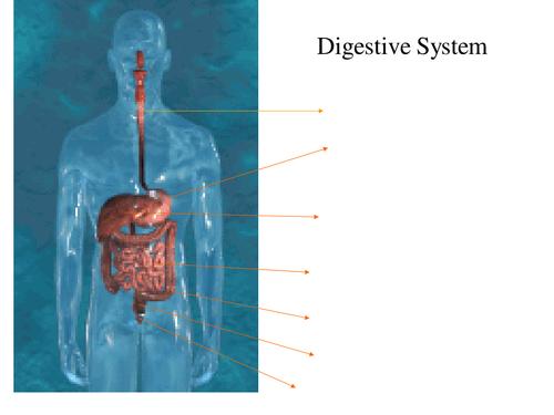 Digestive system powepoint