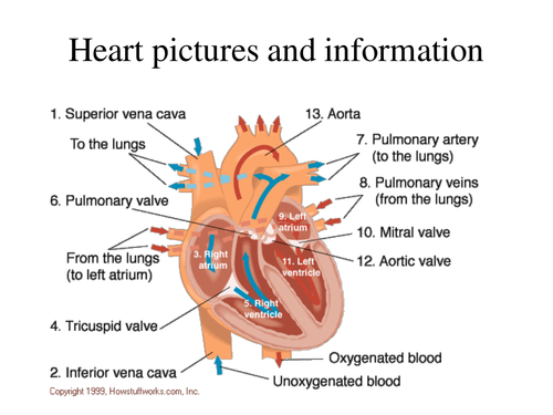 Heart powerpoint by katy6087 Teaching Resources Tes – Structure of the Heart Worksheet Answers