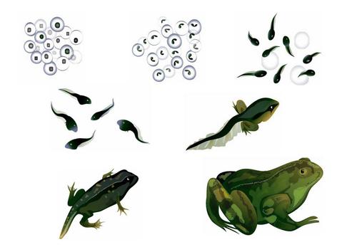 Frog Life Cycle Pictures 6017784 on Kindergarten Frog Life Cycle Worksheet
