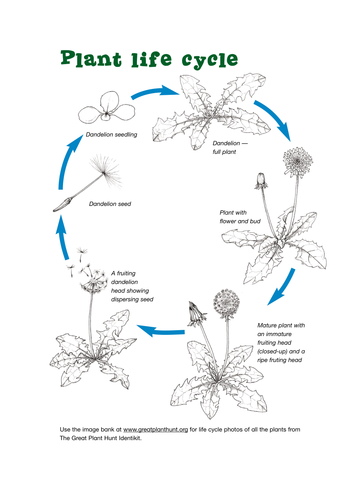 Life Cycle of a Plant by Kew Gardens - Teaching Resources - Tes