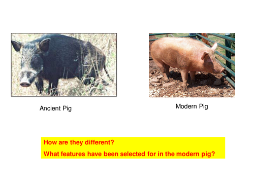 Evolution: Ancient to Modern Pigs and Wheat by Teach_Biology