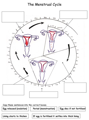 Reproduction the menstrual cycle worksheets by teachbiology reproduction the menstrual cycle worksheets by teachbiology teaching resources tes ccuart
