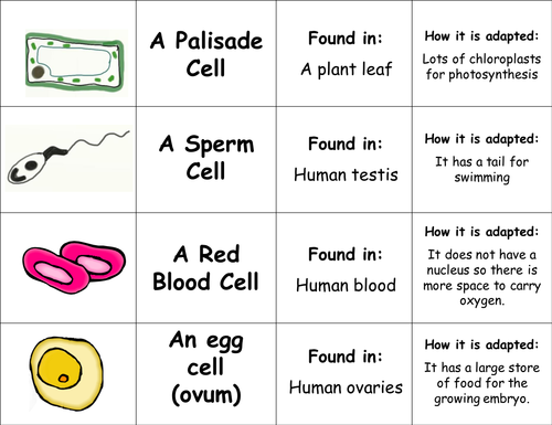 Specialised cells lesson by TeachBiology Teaching Resources Tes – Cell Specialization Worksheet
