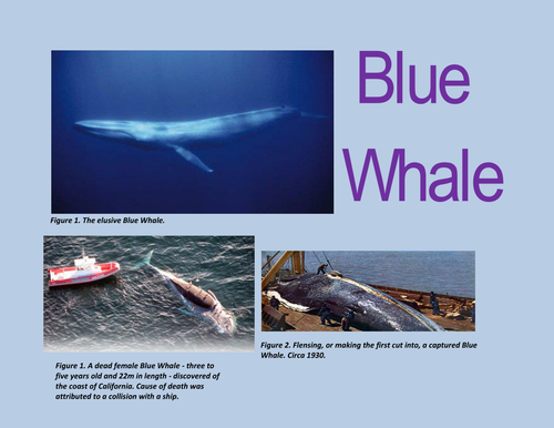 Blue Whale Facts Resource