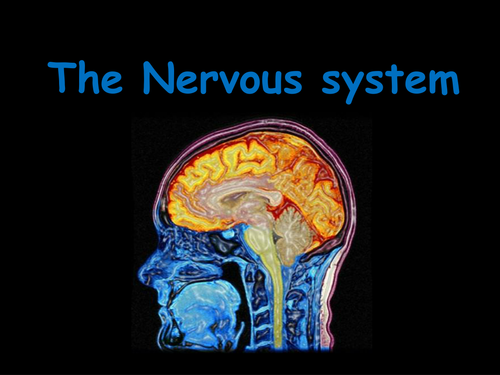 The Nervous System By Katrules2411 Teaching Resources Tes