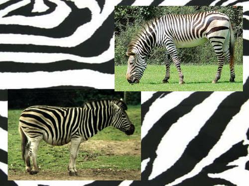 Animal Patterns powerpoint