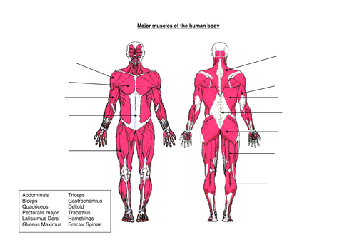 Muscles of the human body by djladyk Teaching Resources Tes – Muscular System Labeling Worksheet