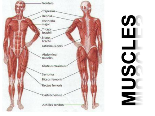 Muscles images human anatomy organs diagram muscles and muscle action by mpgibson teaching resources tes ccuart Images