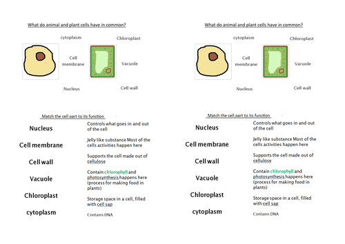 Comparing Plant And Animal Cells Lesson By Hephelumps Teaching