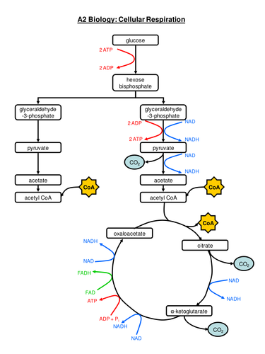 Complete Respiration Flow Chart By Queenofthelab
