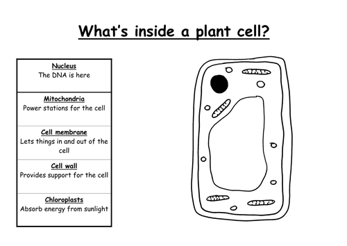 Animal and Plant Cells by fiendishlyclever Teaching Resources TES – Plant Cell Diagram Worksheet